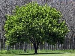 ornamental trees bagia nursery manufacturer in sector 26