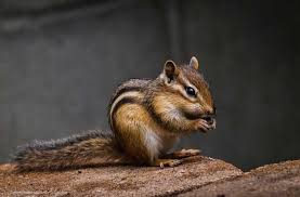 How Do You Get Rid Of Skunks In Your Backyard How To Get Rid Of Chipmunks In The House U0026 Yard