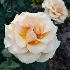 travelportland city of roses international rose test garden