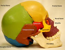 Bones That Form The Cranium Anatomy Made Easy Skull Overview