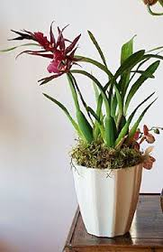 orchids care vanilla orchids care and maintenance tips vanilla