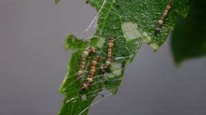 caterpillars recruit building buddies with noises science