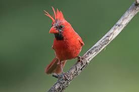 northern cardinal philip schwarz photography blog