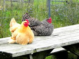Backyard Laying Chickens by Chicken Breeds That Lay All Year With 4 Benefits Of A Mixed Flock