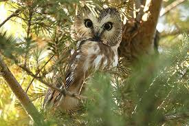 where to find owls owling guide