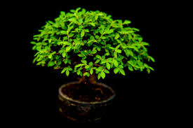 miniature japanese bonsai tree free stock photo domain