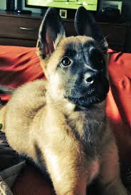 belgian shepherd mix evelyn the belgian malinois mix dogs daily puppy