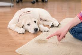 How To Clean The Rug How To Clean Dog Out Of Your Carpet E U0026b Carpet Cleaning
