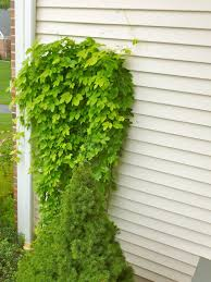 my weeds are very sorry hops on strings