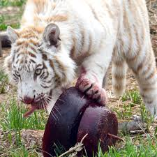white tiger cubs celebrate a birthday the