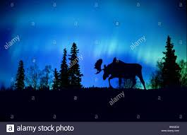 moose silhouette against northern lights composite stock photo