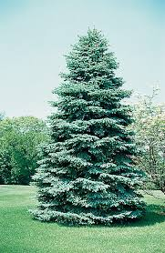 blue spruce trees arbor day foundation offers colorado blue spruce trees to new