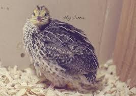 jumbo pharaoh coturnix quail les farms