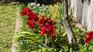 amaryllis flowers how to care for amaryllis flower gardening miraclegro