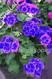 beautiful plants aliexpress com buy 100 pcs dwarf bonsai purple geranium seeds