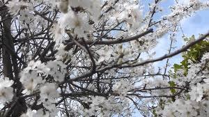 white cherry blossom cherry tree blossoms white flowers kirsuberjatré
