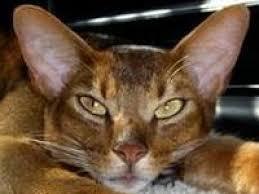 Barn Cat Names Peke Faced Cats Peke Faced Cat Breed Info U0026 Pictures Petmd