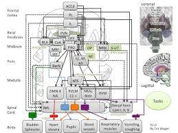 Brain Stem Anatomy Start Brainstem Wiki