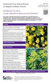 native plants extension master gardener problem plant lesser celandine master gardeners of northern