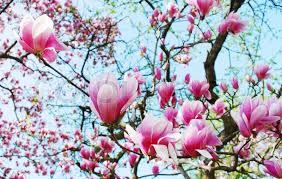 magnolia tree flowers stock photo colourbox