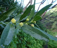 frangula californica wikipedia umbellularia californica wildflowers in santa barbara