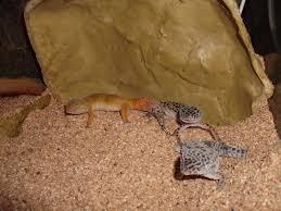 gecko lizard picture 4139 pet gallery petpeoplesplace com