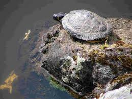 the simple trick to turn any water garden into a turtle pond