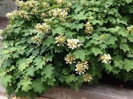 hydrangea hydrangea popular but confusing indiana yard and garden
