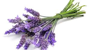 lavender flowers lavender is the best repellent for scorpions