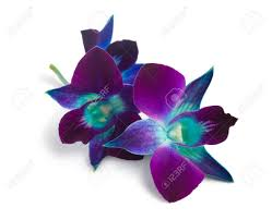 blue and purple orchids purple orchid isolated on a white stock photo picture and