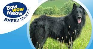 belgian sheepdog groenendael puppies meet the belgian shepherd groenendael
