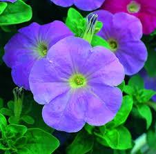 petunia flowers petunia flower seeds