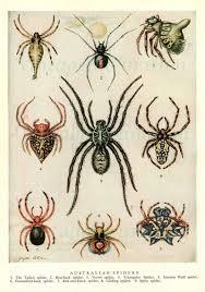 spiders 1954 vintage print australian spider illustration nine
