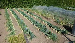 vegetable garden layout vegetable garden layout and ways to improve my garden plant