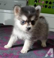 black friday puppy sale pomsky puppies only 10 12 lbs full grown for sale in orlando