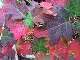 5 shrubs fall color u2014 todd haiman landscape design