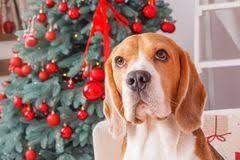 beagle stock photos royalty free images