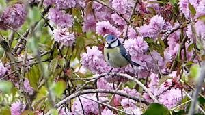 beautiful blue bird on a cherry blossom tree