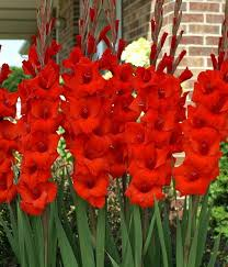 gladiolus flower gladiolus flower bulbs pack of 6 easy gardening