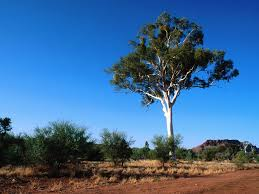 gum tree pictures and information on gum trees