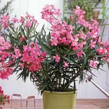 blumen fã r balkon der balkon im süden ist perfekt für den mediterranen oleander