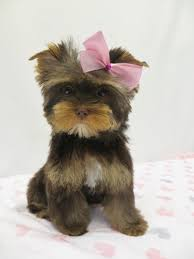 pictures of puppy haircuts for yorkie dogs chocolate yorkie www poodlepenthouse com yorkie hair cuts