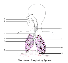 Anatomy And Physiology Labeling Respiratory System Blank Diagram Respiratory System Of A Squirrel