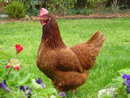 chicken breeds popular with mini encyclopedia of chicken breeds