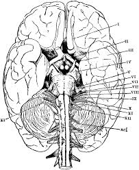 human brain coloring page with anatomy pages shimosoku biz