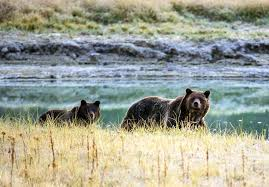 the controversial science behind the yellowstone grizzly losing