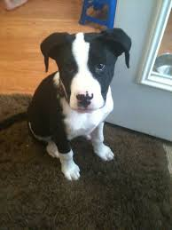 american pitbull terrier white with black spots best 25 terrier mix ideas only on pinterest terrier mix breeds