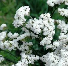 statice flowers statice white 100 seeds limonium sinuatum iceberg great for