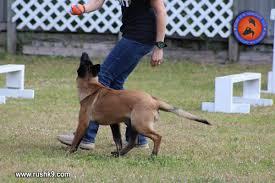 belgian sheepdog training dog training dog for sale dog trainer in hoobly classifieds