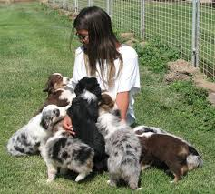 australian shepherd kennel club kissme kennels